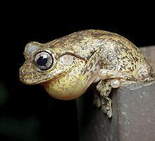 Calling Peron's Tree Frog by Andrew Trevor-Jones
