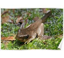 Peron's Tree Froglet Poster
