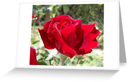 Roses are red... by May Lattanzio