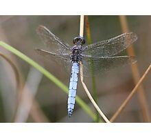 Keeled Skimmer male (Orthetrum coerulescens) Photographic Print