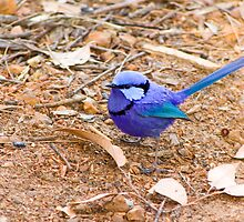Splendid Fairy Wren by Philip Cannon