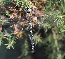 Migrant Hawker male Aeshna mixta by DragonflyHunter