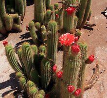 Red Flower Cactus by aidan  moran