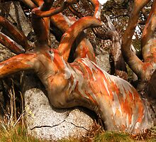 Old Orange snowgum by Speedy