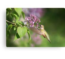 Lilac Hummingbird Canvas Print