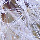 dew fresh dandelions - macro by gaylene