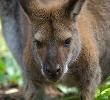 Cute Wallaby by Robyn Maynard