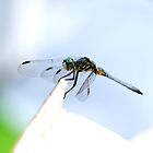Perched Blue Dasher Dragon by DARRIN ALDRIDGE