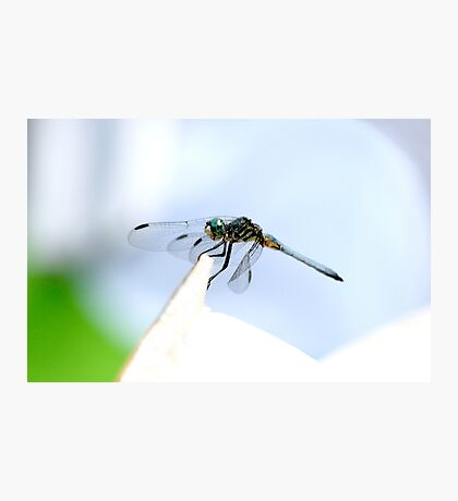 Perched Blue Dasher Dragon Photographic Print