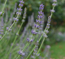 Lavender by kieraneatsice
