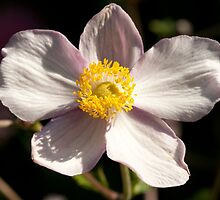 Anemone japonica by Erik Schlogl