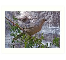 Great Bower Bird, Kununurra, Western Australia Art Print