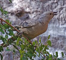 Great Bower Bird, Kununurra, Western Australia by Adrian Paul