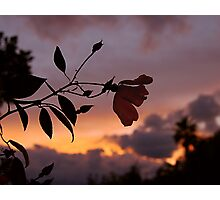 A rose for Sharon Photographic Print
