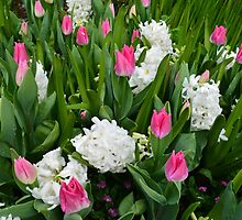 Spring pink tulip and white flowers in The Butchart Gardens. by naturematters