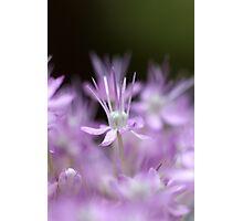 Allium flower Photographic Print