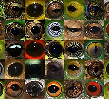 Frog eyes from around the world by Jodi Rowley