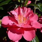 Full blooming spring pink camellia flower. by naturematters
