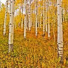 Aspens in the forest by Luann wilslef