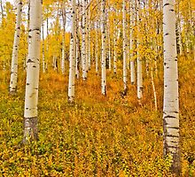 Aspens in the forest by Luann wilslef