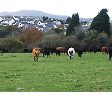 COWS IN PASTURE Photographic Print