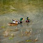 Dabbling Ducks by TJ Zook