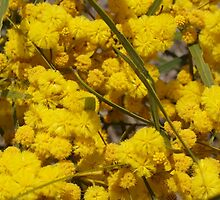 Acacia in Rockingham by kalaryder