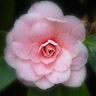 Pink Camellia by Rob Parsons