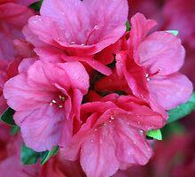 Simply Pink by kimbarose