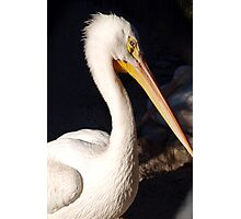 White pelican Photographic Print
