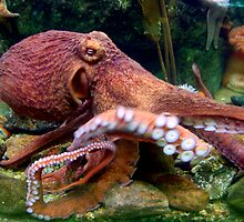 Octopus by Lizzie Phillips