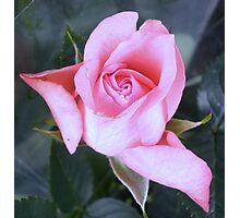 Minature Pink Rose Photographic Print