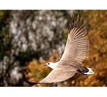 Sea Eagle in flight Photographic Print