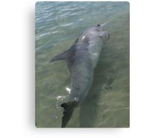 Monkey Mia Dolphin Canvas Print