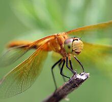 Dragonfly 2 by Teresa Zieba