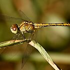 Damselfly by Selina Tour