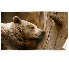 Sleeping Brown Bear Poster