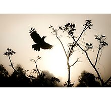 Crow in morning light Photographic Print