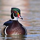 Wood Duck Drake by tomryan
