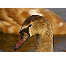 Redfield Cygnet Photographic Print