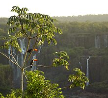 Iguazu toucans1 by phil73