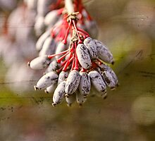 Honeyberry a sign of Spring by brijo