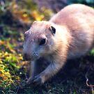 Baby Marmot  by stellaozza