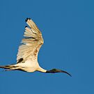 Australia White Ibis by Gethin