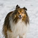 Sheltie by Michael Cummings
