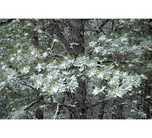Snowy Pines Photographic Print