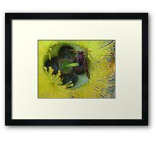 Bush Wasp in a yellow Bottle Brush Framed Print