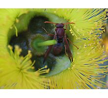 Bush Wasp in a yellow Bottle Brush Photographic Print