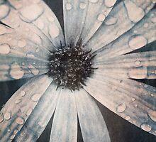 Still life of daisy with rain drops by Artmassage