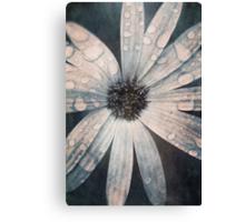 Still life of daisy with rain drops Canvas Print